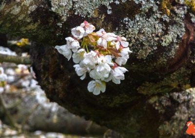 2019 04 06 - Les cerisiers de Jussy - YET89-10