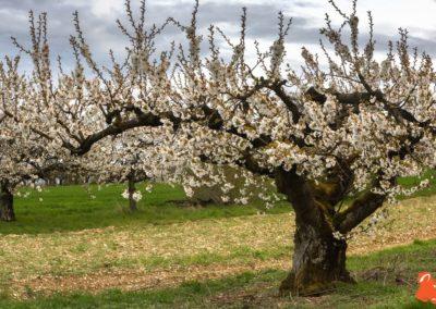 2019 04 06 - Les cerisiers de Jussy - YET89-11