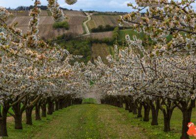 2019 04 06 - Les cerisiers de Jussy - YET89-22